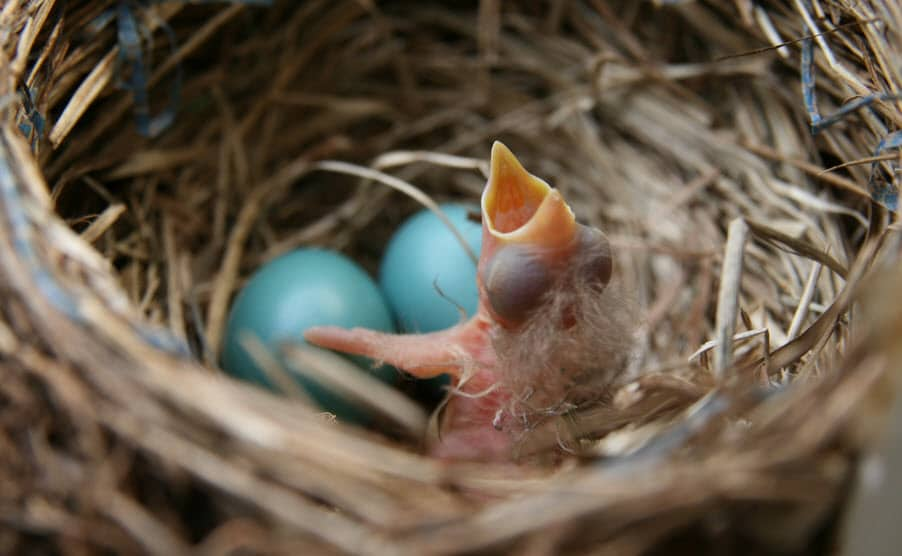 Vogel Tarot: Pas uit het ei