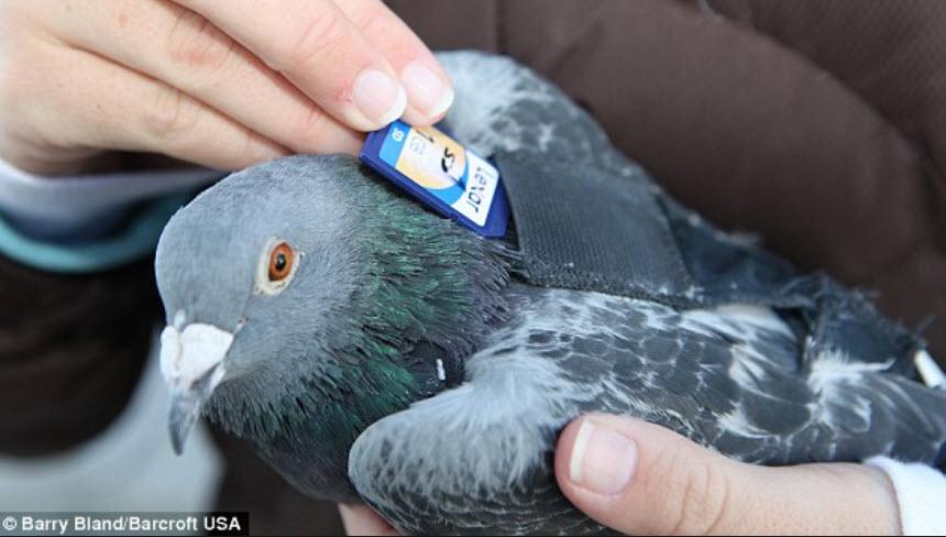 vogel tarot Postduif met chip in zakje op rug