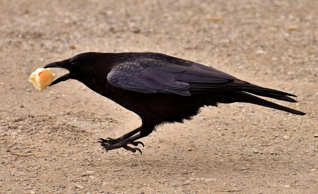 vogeltarot Raaf met eten in snavel