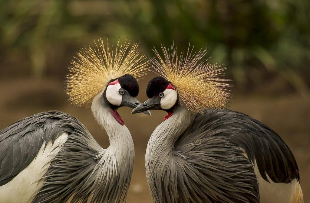 vogel tarot Grijze kraanvogels
