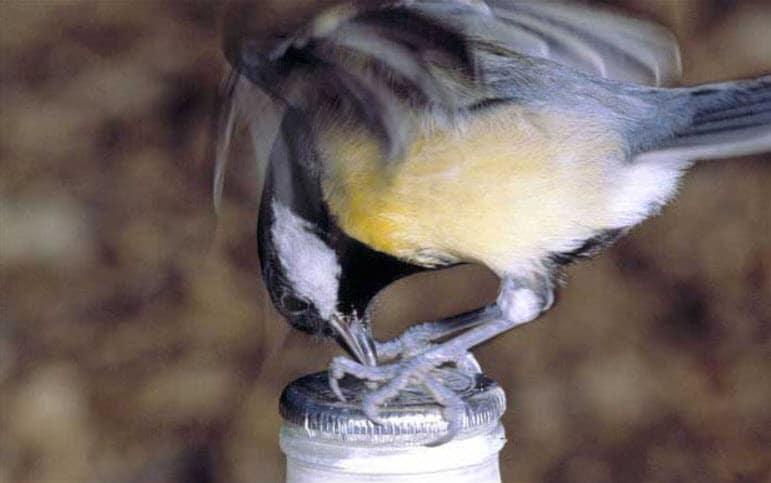 vogel orakel Koolmees drinkt uit melkfles