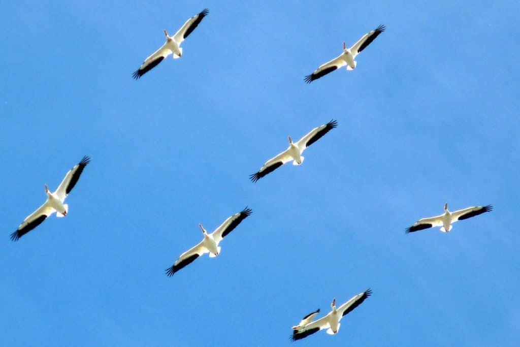 vogel tarot Pelikanen in vlucht