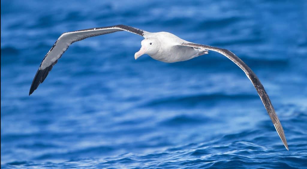 Vogel Tarot Wandering Albatross