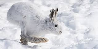 Sneeuwschoen Haas op tarotkaart keizerin winterse tarot